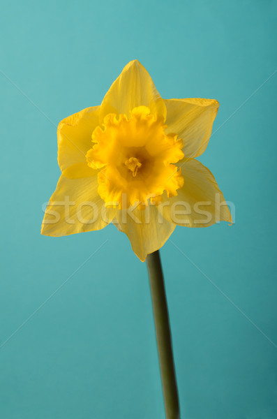 Front View of Single Spring Daffodil on Turquoise Stock photo © frannyanne