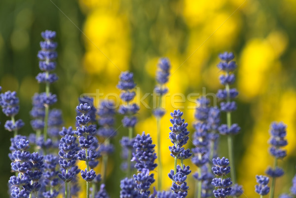 Purple Lavender and Yellow Flowers Stock photo © frannyanne