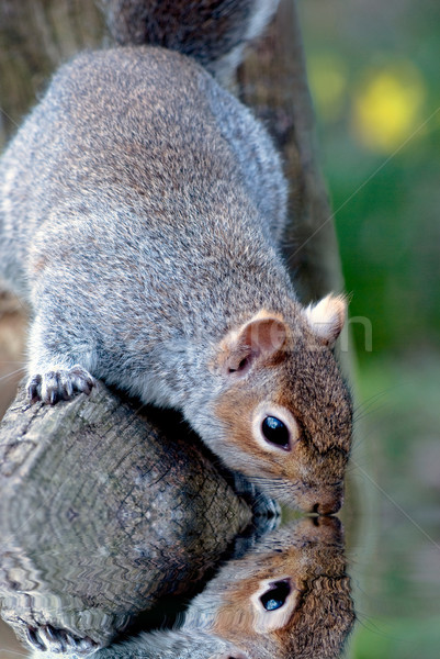Grey Squirrell Looking into Water Reflection Stock photo © frannyanne
