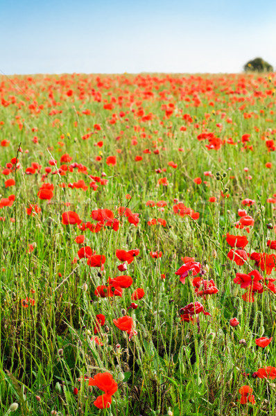 Stock photo: Wild Red Poppy Field with Distant Tree in Summer