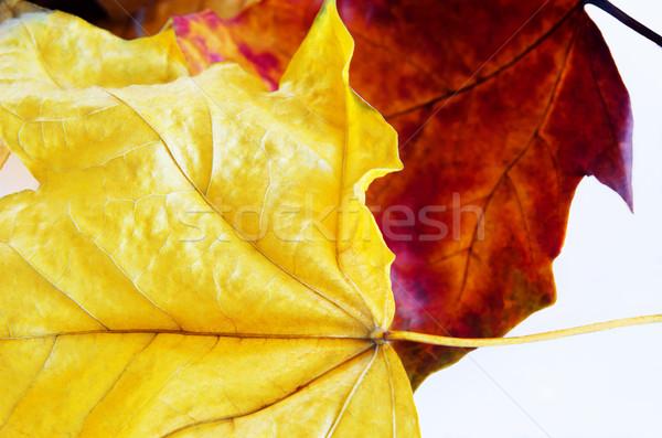 Macro due luminoso giallo Foto d'archivio © frannyanne