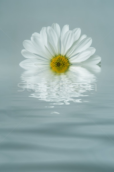 White Flower Reflected in Blue Rippled Water Stock photo © frannyanne