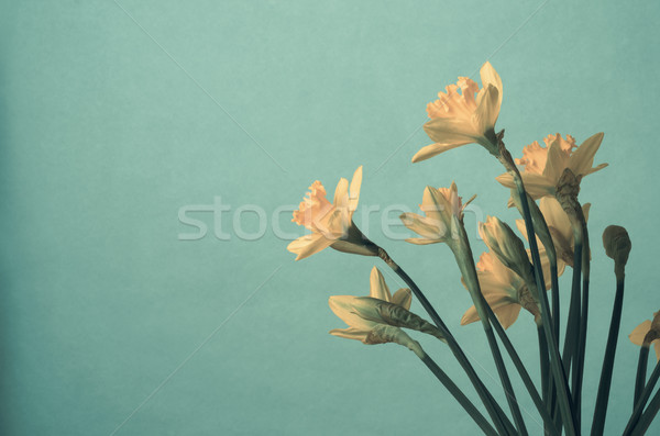 Bunch of Yellow Spring Daffodils on Turquoise Background Stock photo © frannyanne