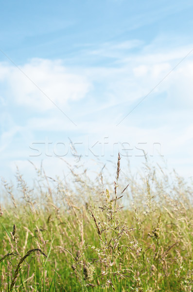 Wild Grasses in Summertime under Blue Sky with White Clouds Stock photo © frannyanne