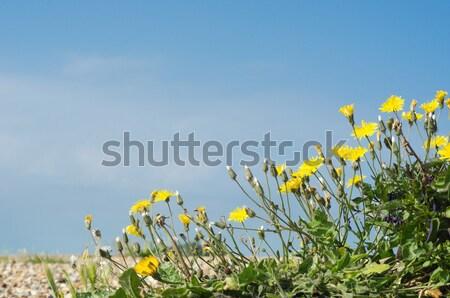 Coastal Flora - Dandelions on Pebble Beach Stock photo © frannyanne
