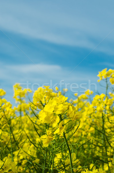 Rapeseed Field with Crop in Flower Stock photo © frannyanne