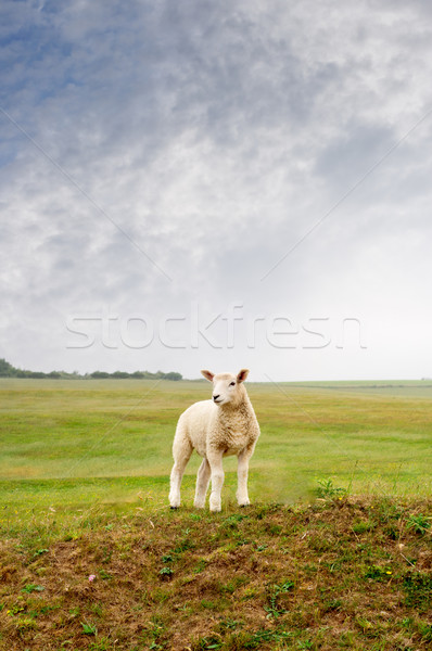 Lamb on a Landscape Stock photo © frannyanne