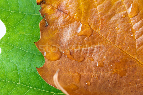 Summer to Autumn Leaves Stock photo © frannyanne