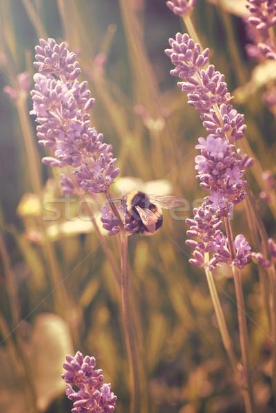 Levendula virágok méh gyűlés virágpor függőleges Stock fotó © frannyanne