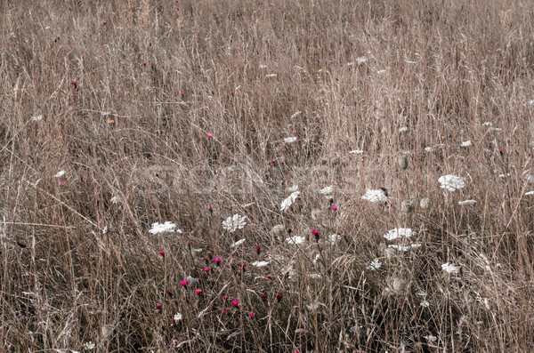 Wild Grass Meadow with Flowers Stock photo © frannyanne