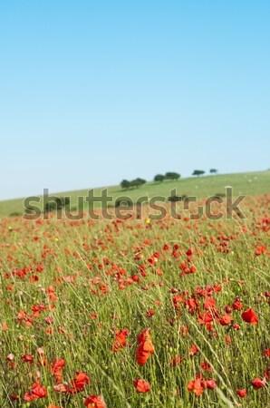 Wild Poppy Field in Summertime Stock photo © frannyanne
