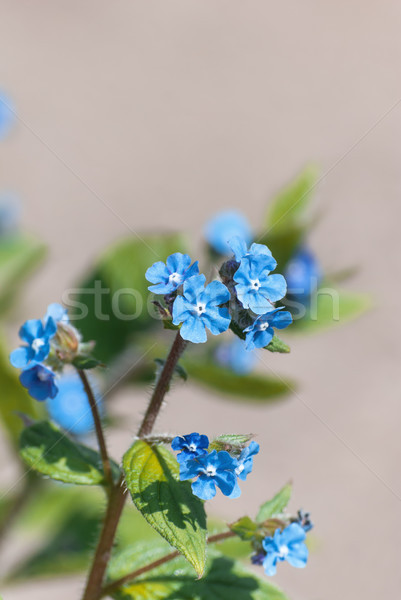 Blue Forget Me Not Flowers with Stone Wall Background Stock photo © frannyanne