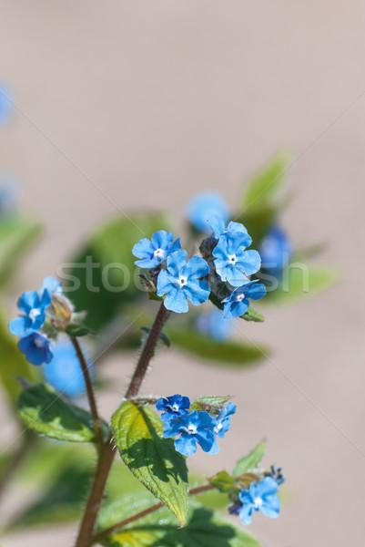 синий мне не цветы каменной стеной Сток-фото © frannyanne