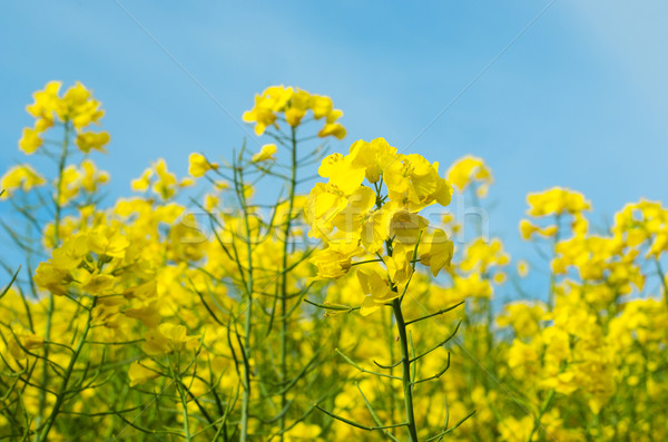 Yellow Rapeseed Flowers Reaching Up to Sky Stock photo © frannyanne