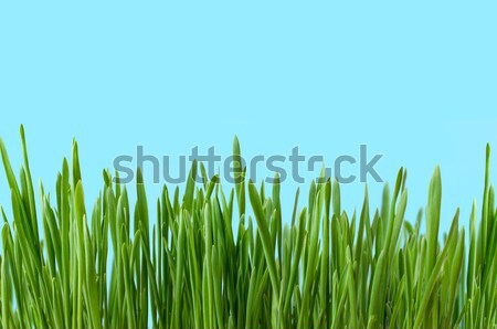 Long Grass Growing against Blue Background Stock photo © frannyanne
