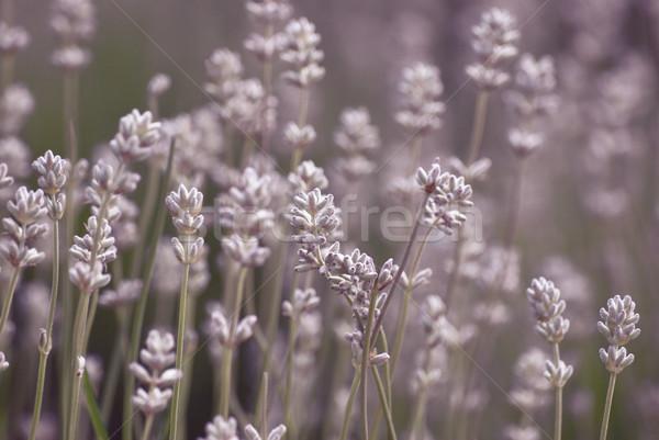 Kwitnienia lawendy rozwój odkryty dziedzinie Zdjęcia stock © frannyanne