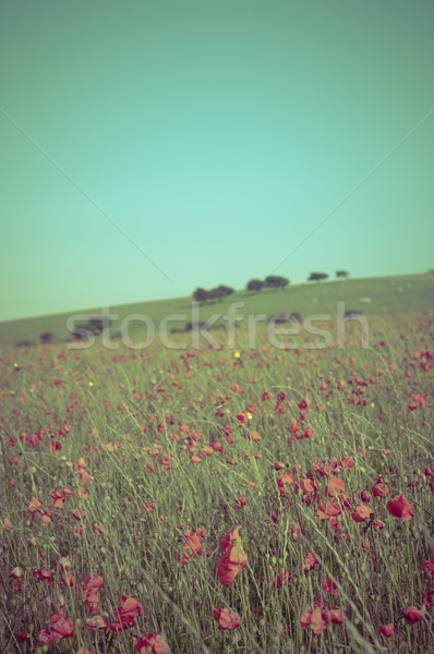 Wild Summer Poppy Field - Cross Processed Stock photo © frannyanne