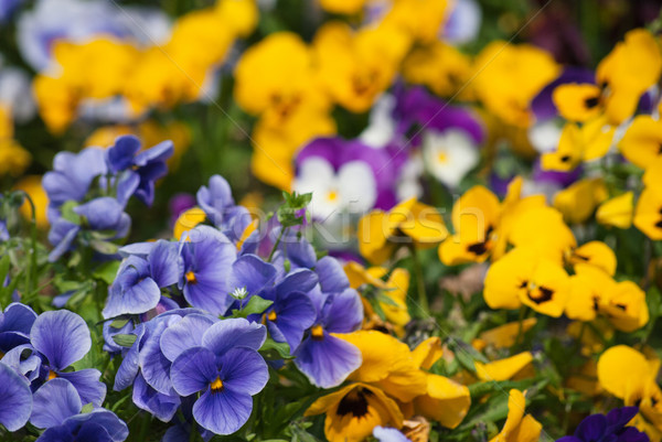 Pansy Garden Stock photo © frannyanne