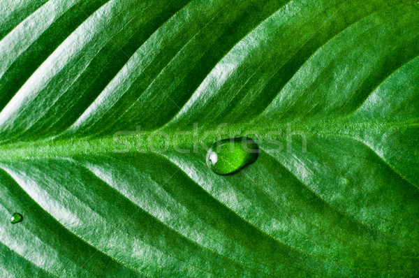 Close Up of Tropical Green Plant Leaf Texture Stock photo © frannyanne