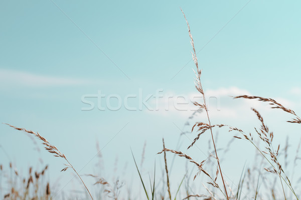 Tall Wild Grasses under Aqua Blue sky in Summertime Stock photo © frannyanne