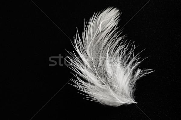 Kabarık beyaz tüy siyah kuşlar Stok fotoğraf © frannyanne