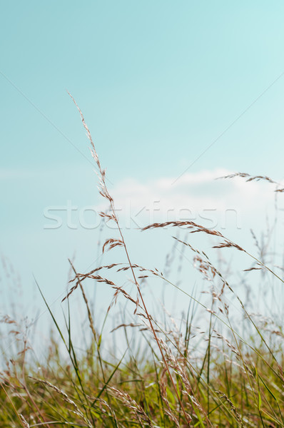 Tall Wild Grasses under Aqua Blue Sky in Summer Stock photo © frannyanne