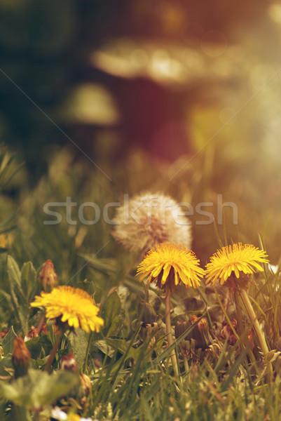 Karahindiba puslu altın ışık sarı Stok fotoğraf © frannyanne