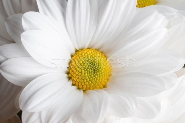 Bloem hoofd witte Geel chrysant Stockfoto © frannyanne