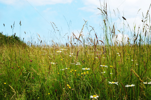 Wild Flowers Among Long Grasses in Summer Stock photo © frannyanne