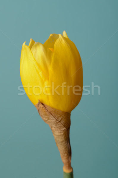 Single Daffodil in Blossoming Process Stock photo © frannyanne