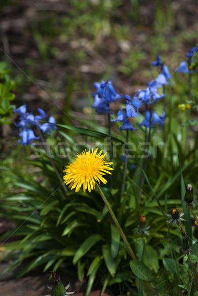 Dandelion and Bluebells  Stock photo © frannyanne
