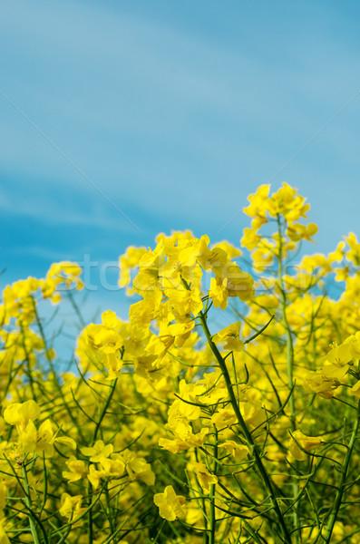 Rape Crop Field in Flower Stock photo © frannyanne