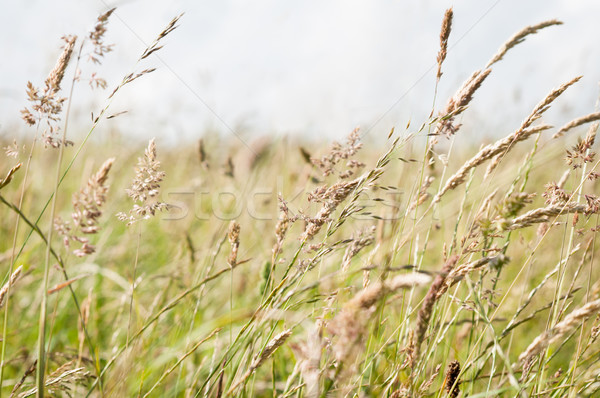 Wild Grasses Blowing in Breeze in a Countryside Meadow Stock photo © frannyanne