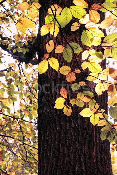 Autumn Leaves Hanging from Tree in Woodland Sunlight Stock photo © frannyanne