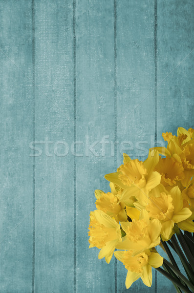 Daffodils Blossoming in front of Turquoise Wood Plank Background Stock photo © frannyanne