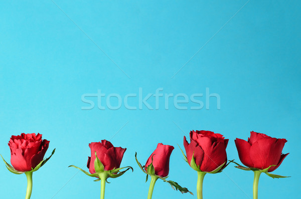 Row of Five Red Roses Standing Upright against Light Blue Backgr Stock photo © frannyanne