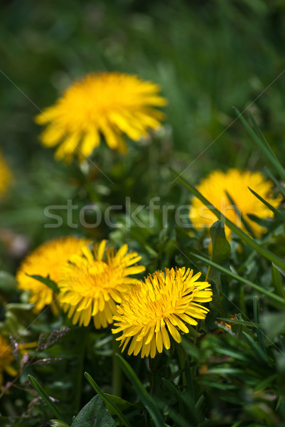 Wild Yellow Dandelions in Blossom Stock photo © frannyanne