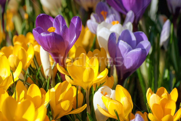 Crocus Flowers in Purple, Yellow and White Stock photo © frannyanne