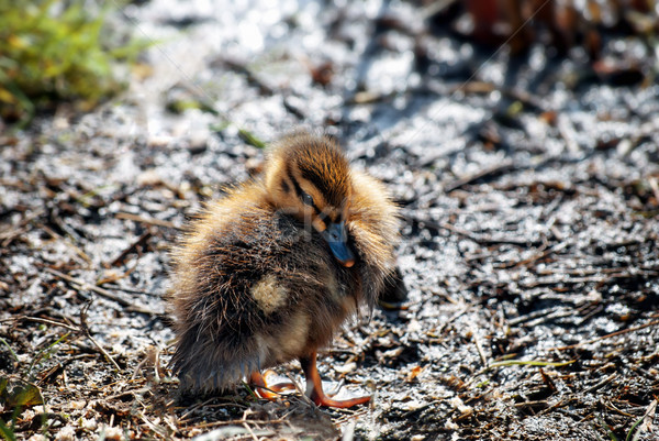 Mallard Duckling on Muddy Bank on Spring Day in April Stock photo © frannyanne