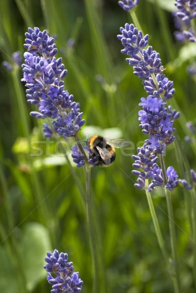 Pszczoła lawendy pyłek pionowy zewnątrz Zdjęcia stock © frannyanne