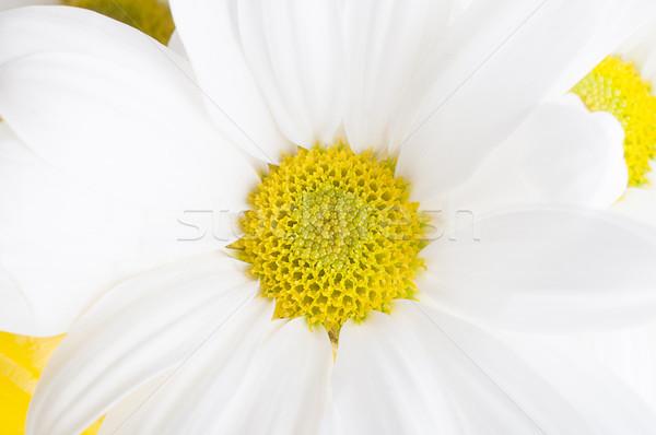 Beyaz krizantem çiçek makro atış Stok fotoğraf © frannyanne