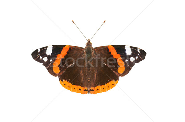 Red Admiral Butterfly Stock photo © frannyanne
