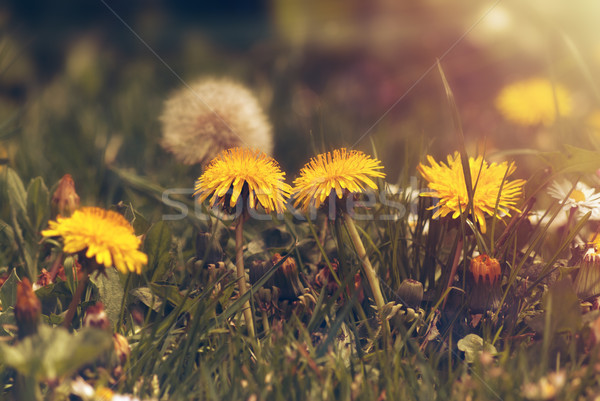 Dandelions Growing in Green Grass with Golden Light Stock photo © frannyanne