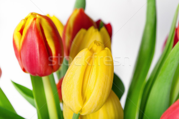 Red and Yellow Tulips in Close Up Stock photo © frannyanne