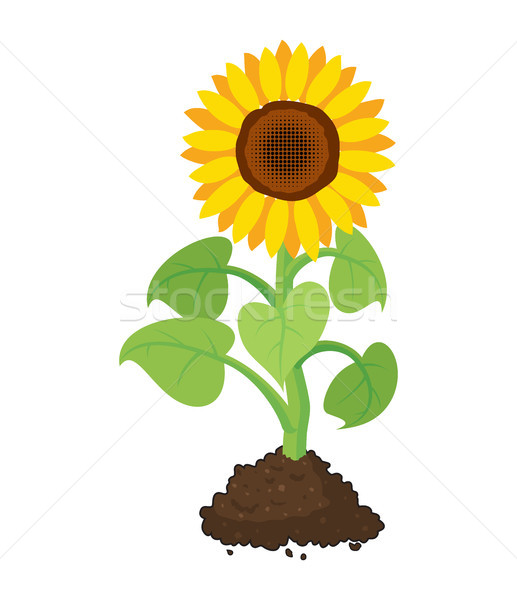 Vector Cartoon jardín girasol crecer suelo Foto stock © freesoulproduction