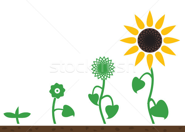 vector sunflower plant growth stages Stock photo © freesoulproduction