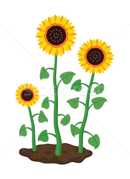 вектора Cartoon саду подсолнухи расти почвы Сток-фото © freesoulproduction