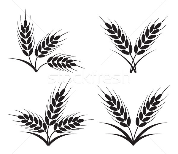 vector bunches of wheat, barley or rye ears Stock photo © freesoulproduction