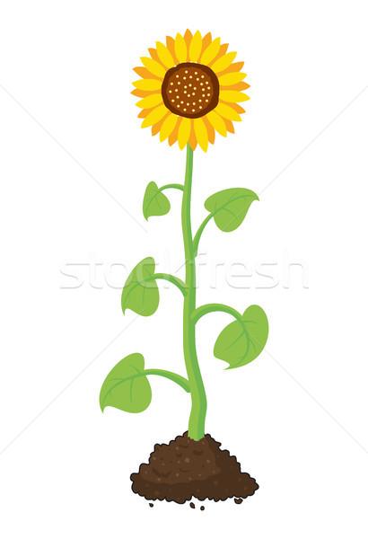 Vetor desenho animado jardim girassol crescer solo Foto stock © freesoulproduction