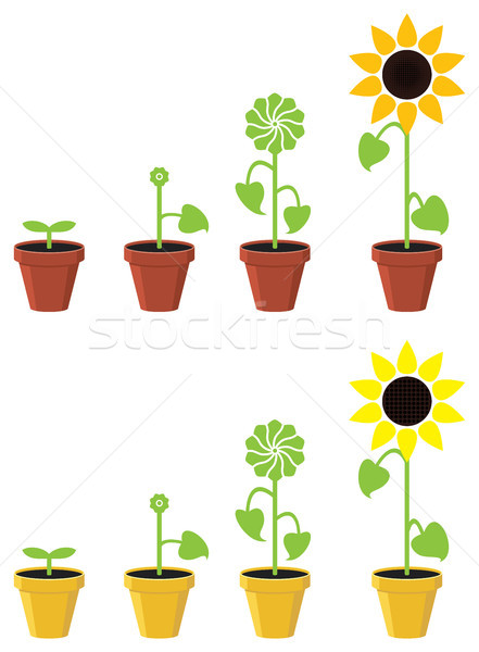 vector sunflower plant growth stages concept Stock photo © freesoulproduction